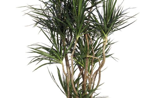 Dracaena marginata low light easy care looks cool for Easy care indoor plants