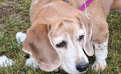 Pictures Of Lucy A Beagle For Adoption In Coldwater Mi Who Needs A Loving Home Adoptable Beagle Pets Kitten Adoption