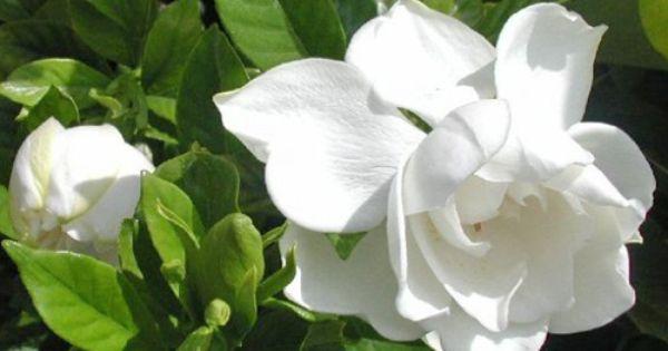 ホワイトフローラルの精油 Gardenia Garden Angels Flowers