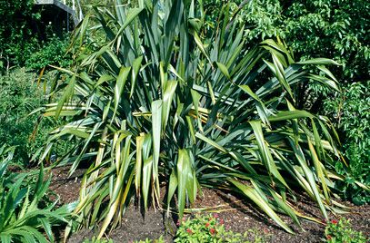 Rhs Plant Selector Phormium Tenax Agm Rhs Gardening Plants