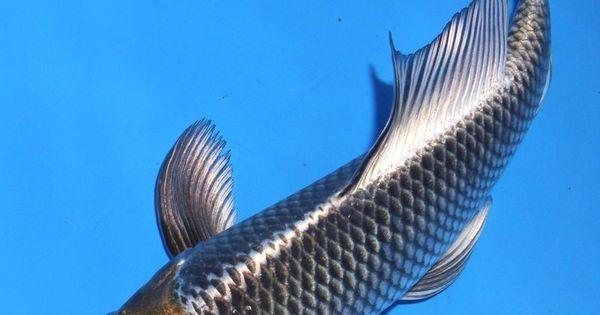 Live Koi Fish 9 10 Quot Kujaku Butterfly Black Long Fin Koibay