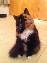 Adopt Gigi On Ragdoll Cat Cats And Kittens Cats
