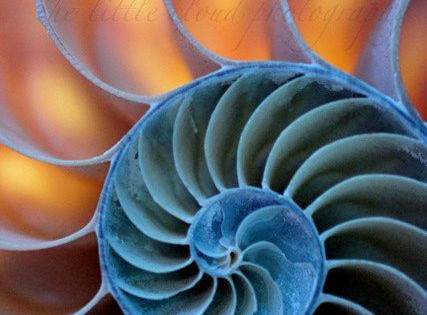 Shell Photography. 13x19 photo. art, blue, orange, sea shells, nautilus, ocean, nature,