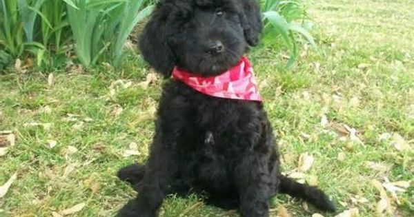 Image Detail For Schnoodle Puppies In Deep Run North Carolina 218962 Schnoodle Puppy Dog Breed Info