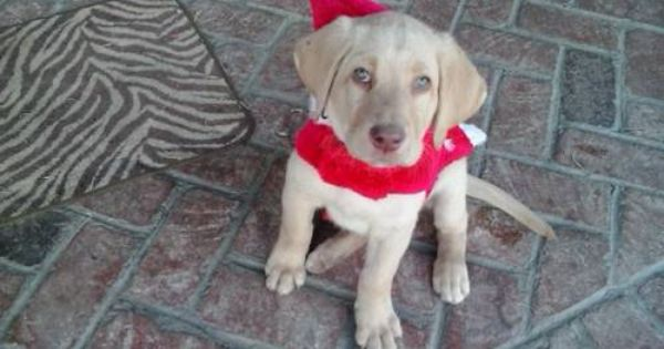 Absolutely Beautiful Akc Yellow Labrador Puppy 8 Weeks Old