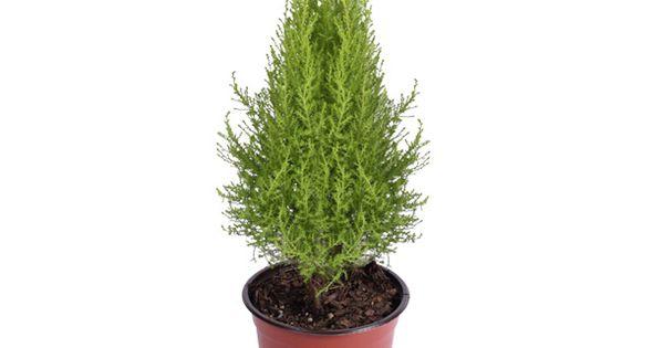 Planta cedro lim n riego ornamentacion y en navidad for Ornamentacion para navidad