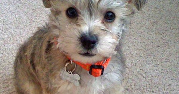 Miniature Schnauzer Smart And Obedient Cute Animals Cute Dogs Smelly Dog