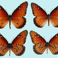 The Queen Raising Butterflies How To Find And Care For