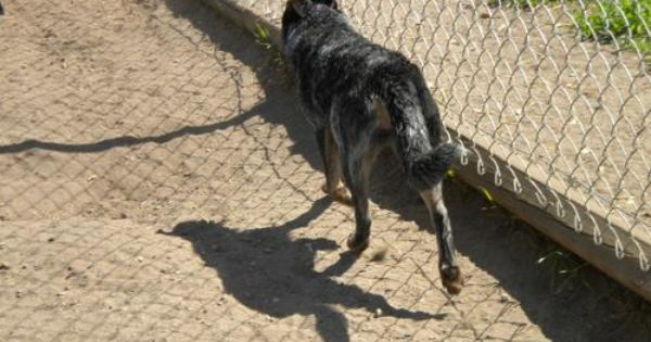 Adopt Myott On Australian Cattle Dog Blue Heeler Blue Heeler