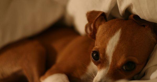 Mini Greyhound Chihuahua Mix Google Search Awe She Is So