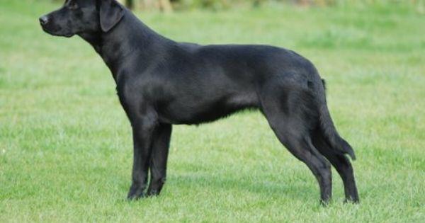 Labrador Retriever Working Line Working Line Dogs Are Healthier