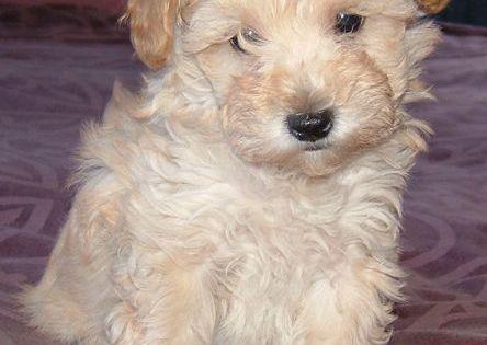 Growing Puppies - Virginia Breeder of Hypoallergenic Schnoodle Dogs: Schnoodles in high