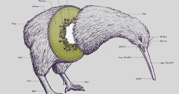 Kiwi Anatomy Art Print — made me laugh :)