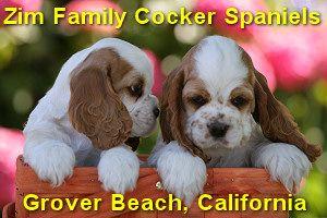 Zim Family Cocker Spaniel Puppies San Luis Obispo County California American Cocker Spaniel Cocker Spaniel Spaniel