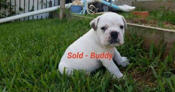 1 X Aussie Bulldog Puppy Looking For His Forever Home 1500 From A Litter Of 7 1 X Male Duke 1 X Female Lex Australian Bulldog Bulldog Puppies Puppies