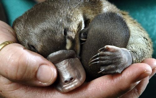 Nap Time for baby platypus