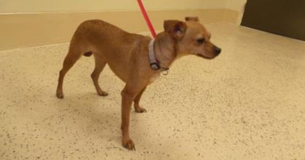 Adopt 28236185 A Lovely 2 Years Dog Available For Adoption At Petango Com 28236185 Is A Dachshund Standard Smooth Haired Chi Adoption Chihuahua Dachshund