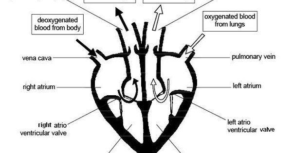diagram of the heart - Google Search | Splendid Science ...