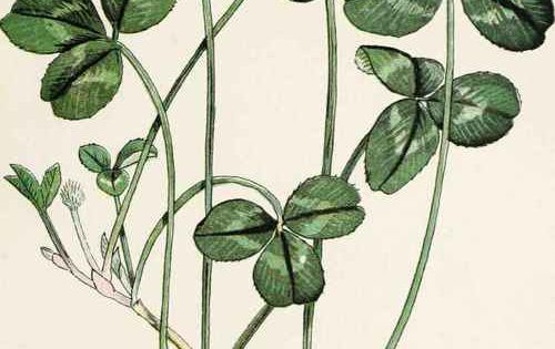 Trifolium Repens also known as White Clover, seen in dunbar by the