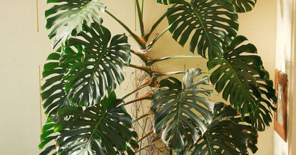 Monstera planting pinterest flora balkon und pflanzen - Zimmerpflanze monstera ...