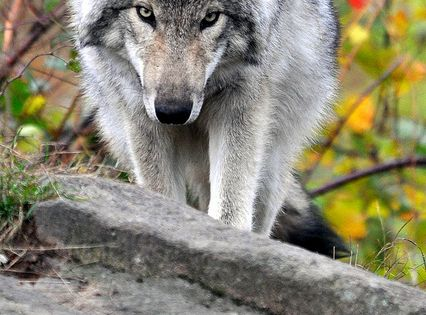 Ah, I wish for the stealthiness of a wolf. The gracefulness. The