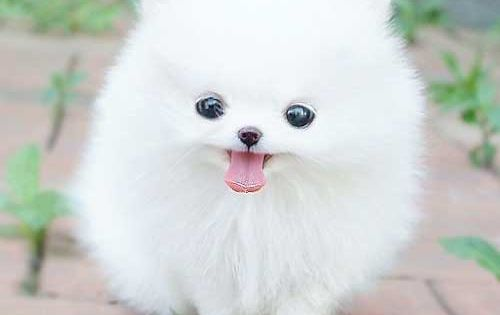 Cute small fluffy puppy so cute nothing can beat that little thing.