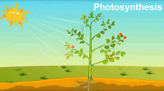 Photosynthesis Is The Process By Which All Autotrophic Organisms Like Green Plants Algae And Photosynthetic Bacteria Plant Science Biology Plants Fun Science