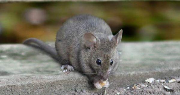 ان شركة صقر البشاير شركة مكافحة فئران بمكة لامنافس لها فى اداء هذه الخدمة حيث انها تعمل على مكافحة جميع القوارض و التخلص منهم بشك Animals Hamster Pest Control