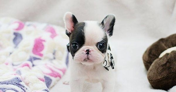Hello adorable. Frenchies Pinterest French bulldogs