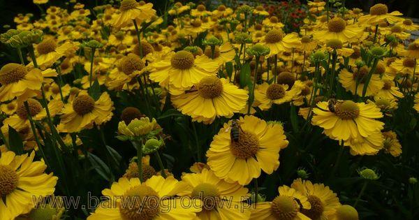 Arboretum Trojanow Poland Helenium Dzielzany Arboretum Plants Pictures