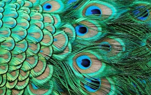 I plan to get a peacock tattoo in the near future!