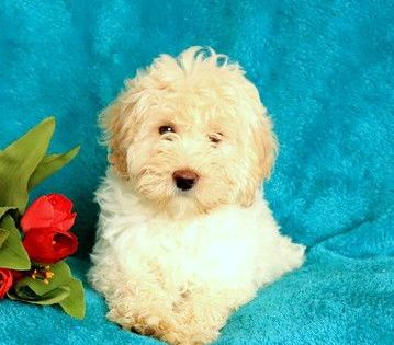 Havanese Poodle Toy Mix Puppy For Sale Near Pennsylvania Gap Usa Adn 66814 In 2020 Puppies For Sale Havanese Toy Poodle