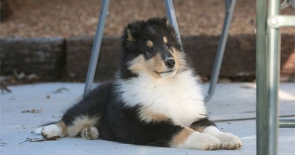 Tricolor Rough Collie Pup Rough Collie Shetland Sheepdog Collie