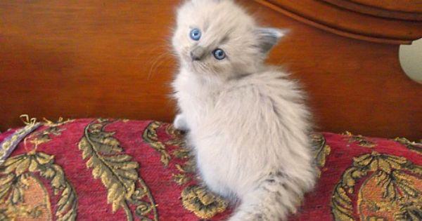 Blue Mink Female Chatabelles Cattery Cat Lady Starter Kit Ragdoll Kitten Cattery
