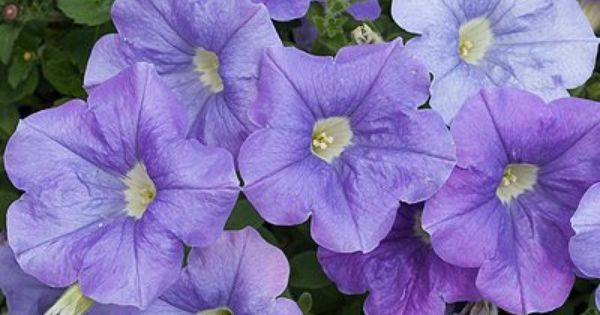 404 File Or Directory Not Found Petunias Plants Bloom
