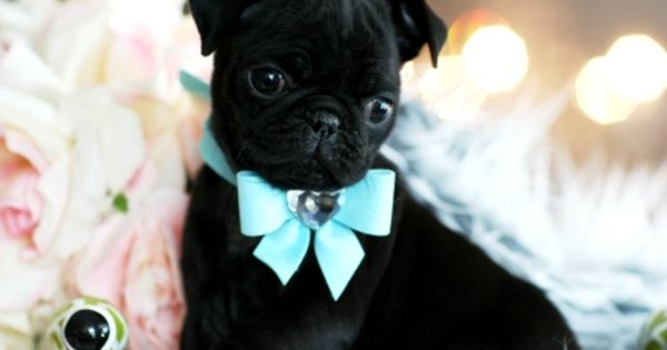Teacup Pug Wrapped In A Bow Teacup Pug Cute Pug Pictures Cute Pugs