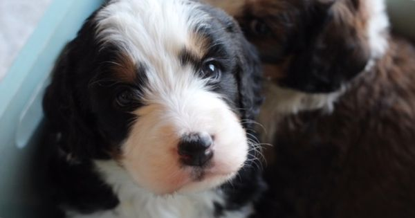 Bernedoodle Puppy 5 Weeks Old Bernedoodle Bernedoodle Puppy Puppies