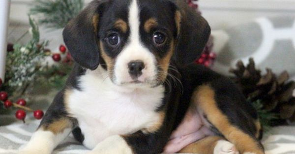 Boston Terrier Cavalier King Charles Spaniel Mix Puppy For Sale In