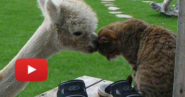 Bottle Fed Alpaca Grew Up With Cats This Is So Cute That Alpaca