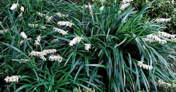 Crystal falls mondo grass pp17430 is a shade loving and for Can ornamental grasses grow in shade