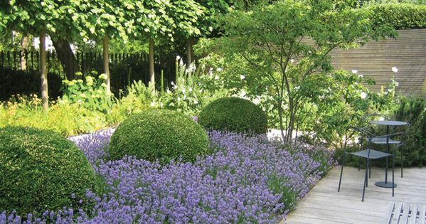 Lavender Boxwood