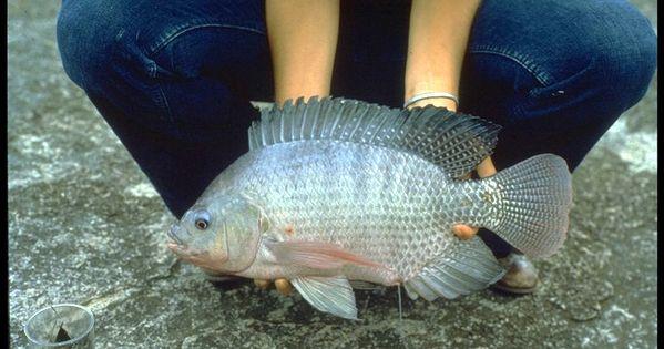 Tilapia raising sex identification and breeding for the for Tilapia aquaponics