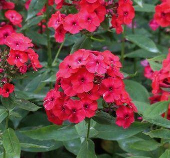 Sommer Phlox Red Flame 3 Pflanzen Jetzt Bestellen Bei In 2020 Sommerblumen Gartengestaltung Ideen