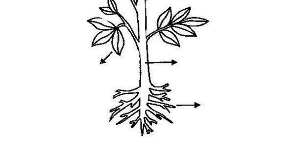 Partes de las plantas raiz para colorear buscar con for Plantas ornamentales para colorear