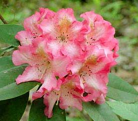 Rhododendron Accomplishment Has Openly Funnel Shaped 3