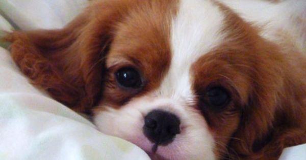 Cavalier Prince Charles Spaniel King Charles Cavalier Spaniel Puppy King Charles Dog King Charles Spaniel