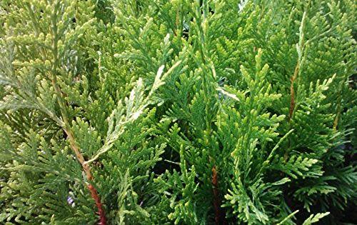 Thuja Green Giant Arborvitae Lot Of 60 Starter Plants Cell Pack By Sandys Nursery Online Learn More Green Giant Arborvitae Thuja Green Giant Giant Arborvitae
