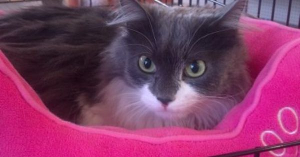 Isabella The Cat Needs A Home Grey And White Cat Grey Cats Cats
