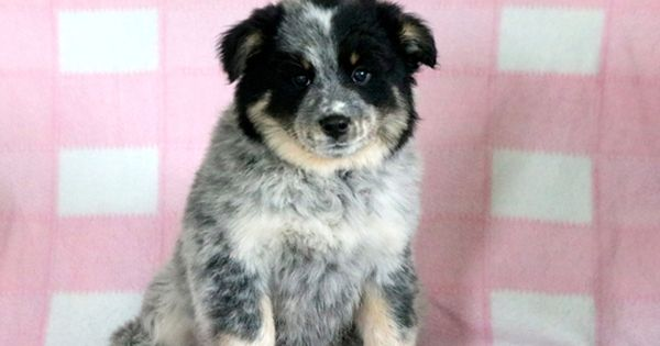 Australian Cattle Dog Samoyed Mix Puppy For Sale In Mount Joy Pa