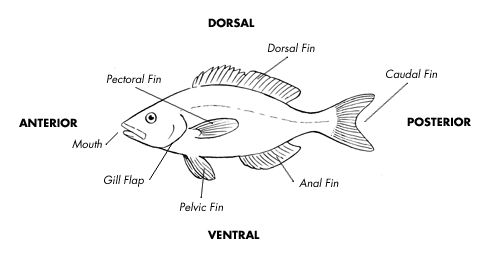 basic fish diagram  fins labeled
